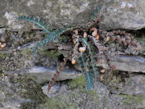Muro Ceterach officinarum