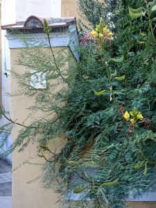 Garbatella Erythrostemon gilliesii